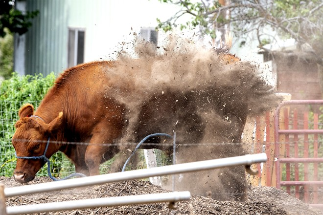 Big Red kicks some dirt up onto his back as he relaxes in his pen on Saturday. Kadence Barnes, 15, is raising the steer to show in 4-H. August Frank/Tribune - AUGUST FRANK/TRIBUNE