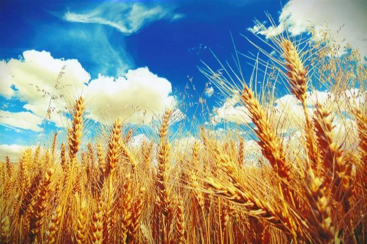 Wheat-Brain-Fairweather-Clarkston.jpg