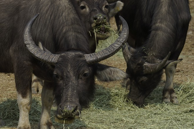 Buffalos eat grass at Lantau island, the biggest island within the territory of Hong Kong on Jan. 17, 2021. The Chinese Year of the Ox begins Friday, Feb. 12, and in the shadow of Hong Kong's futuristic urban skyline, wild bovines are getting some love.Ho Loy of the Lantau Buffalo Association and her team of volunteers dedicate most weekends to checking on the cattle that roam the biggest island within the territory of Hong Kong. (AP Photo/Vincent Yu)