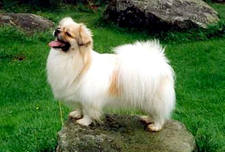 This dog breed originated more than 2,500 years ago in the Himalayas. Do you know what it is?