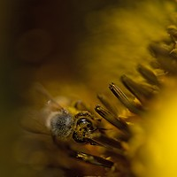 Photos: Local beekeepers and their hives A bee pollinates a sunflower near an Olson's Honey facility. Young Kwak