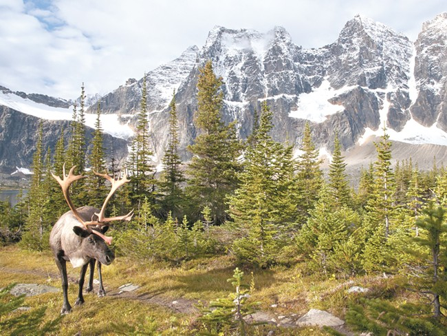 A new proposal intends to protect woodland caribou like this one, seen in Alberta's Jasper National Park in 2010. - MARK BRADLEY, BOREALNATUREPHOTOS.COM