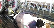 A scene from a video taken inside an Idaho farm that showed a cow being dragged by a tractor.