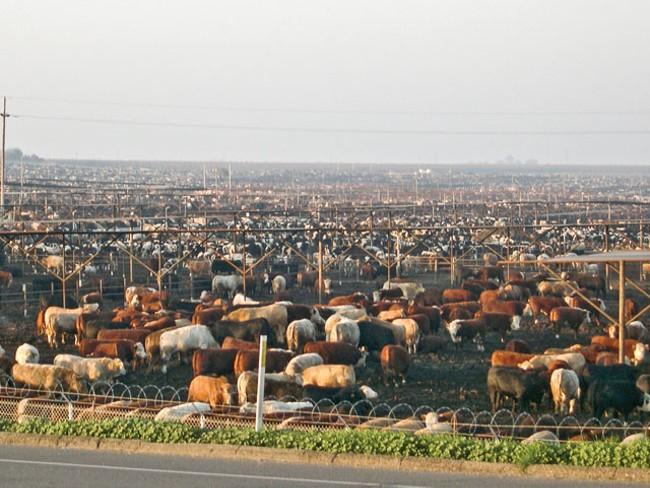 A sea of meat - FARM SANCTUARY