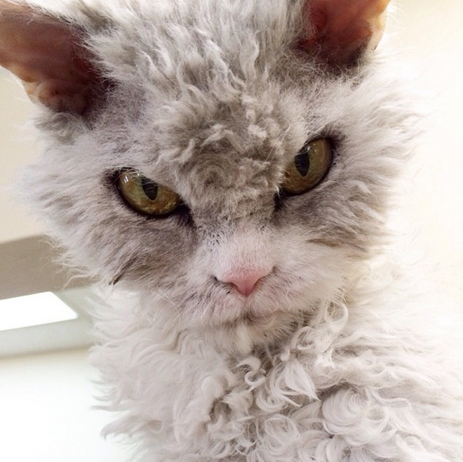Albert is displeased you're reading about cats at the office again. - @POMPOUS.ALBERT INSTAGRAM