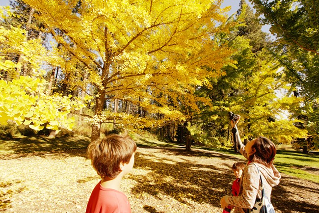 Aya VanCurler, right, takes a photo of a ginkgo tree as her 10 year old son Taichi, left, and 7 year old son Kai look on, at John A. Finch Arboretum. - YOUNG KWAK