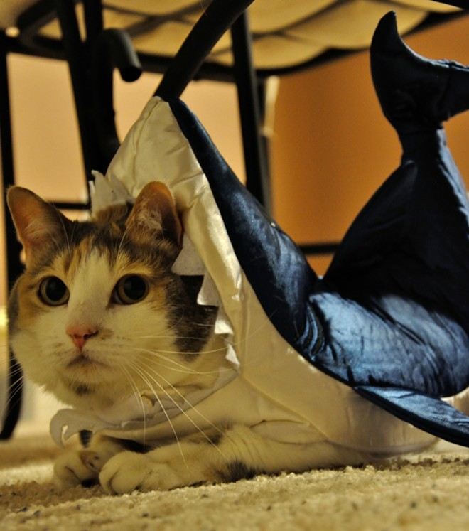 Bali the kitty-shark, from Denver, Colo. Submitted by Christel.
