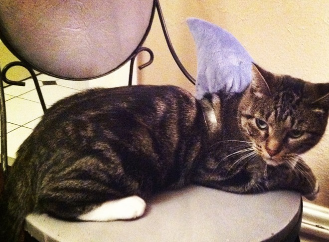 Beatrix, another local shark cat, from Spokane. Submitted by Melissa.