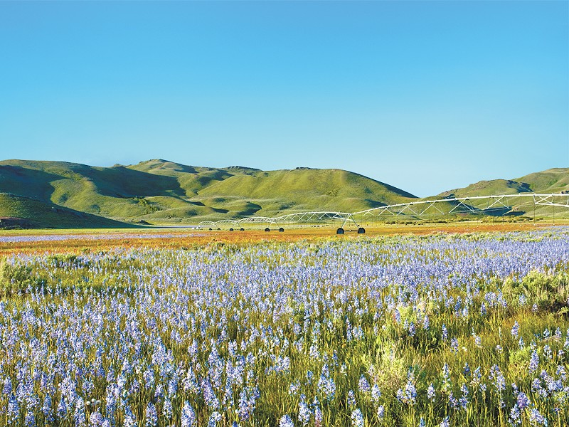 Camas lily field in the Centennial Marsh Wildlife Management Area in Idaho near Hill City. - CHARLES KNOWLES