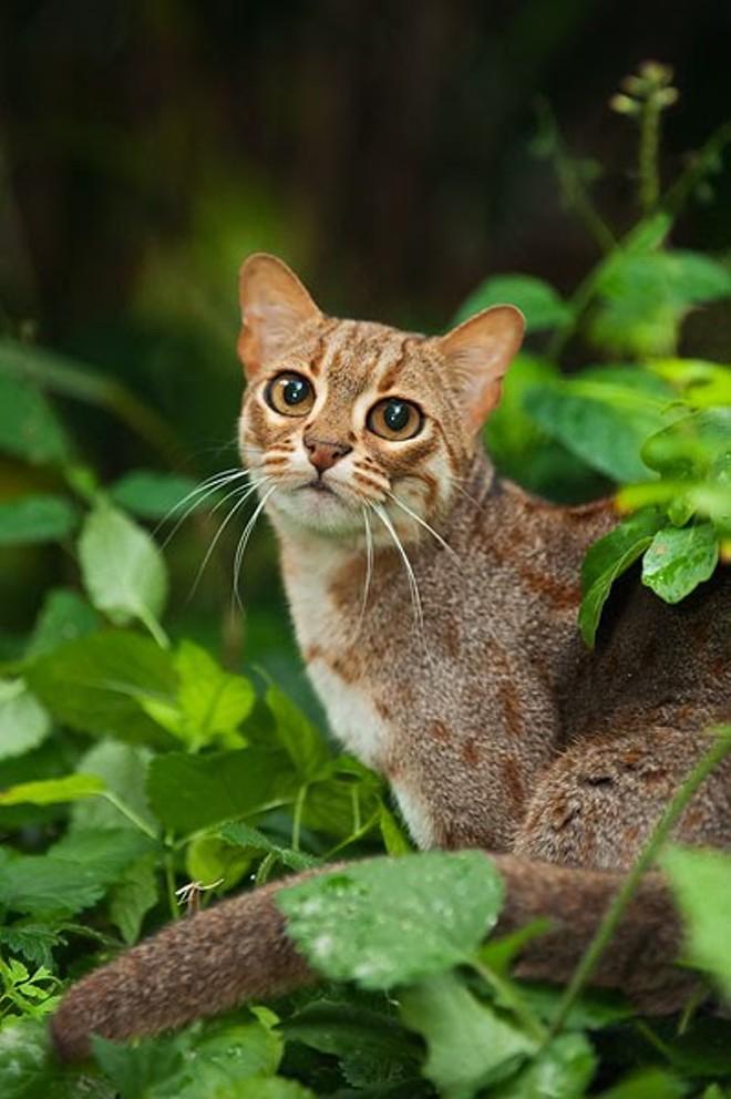 Cutest Cat Breed In India