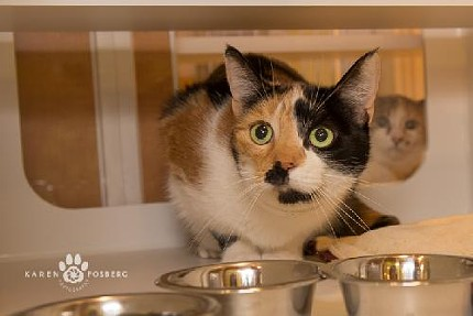 Molly (4220) is a sweet, friendly adult calico currently waiting for a home at SCRAPS. - COURTESY OF SCRAPS