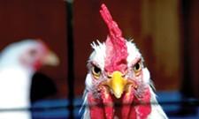 Chicken From Scratch