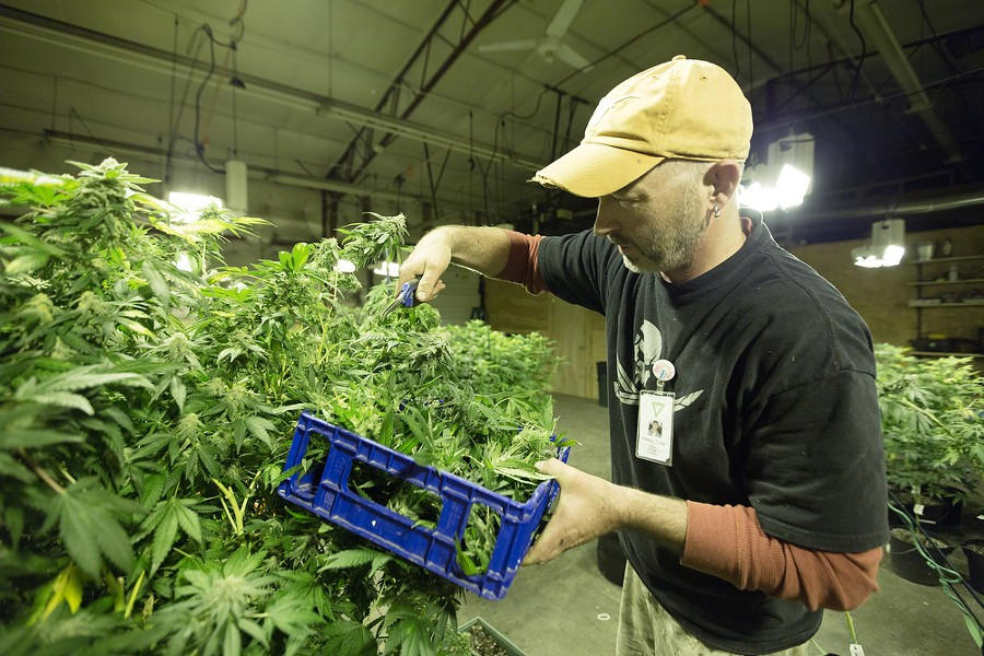 Co-Owner Wesley Tuttle harvests a New York Diesel marijuana plant. - YOUNG KWAK