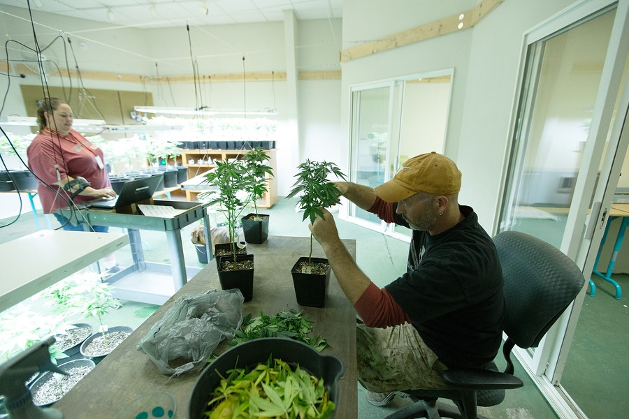 Co-Owner Wesley Tuttle, right, trims a Golden Nugget marijuana plant while his wife and Co-Owner Johanna scans Golden Nugget plants that have been relocated. - YOUNG KWAK