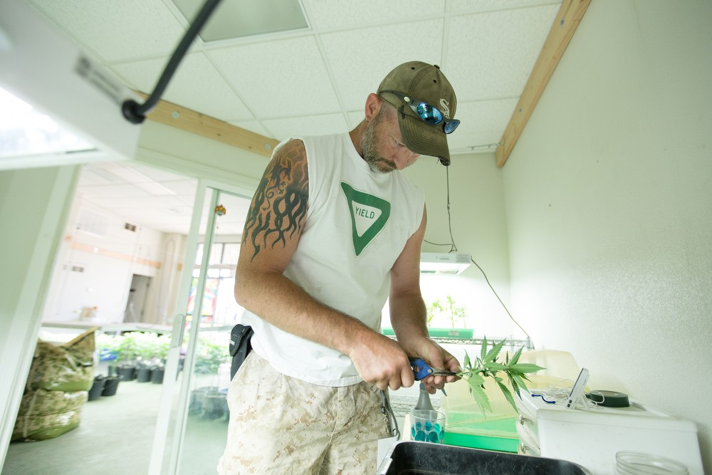 Co-Owner Wesley Tuttle trims a cloned Golden Nugget marijuana plant. - YOUNG KWAK
