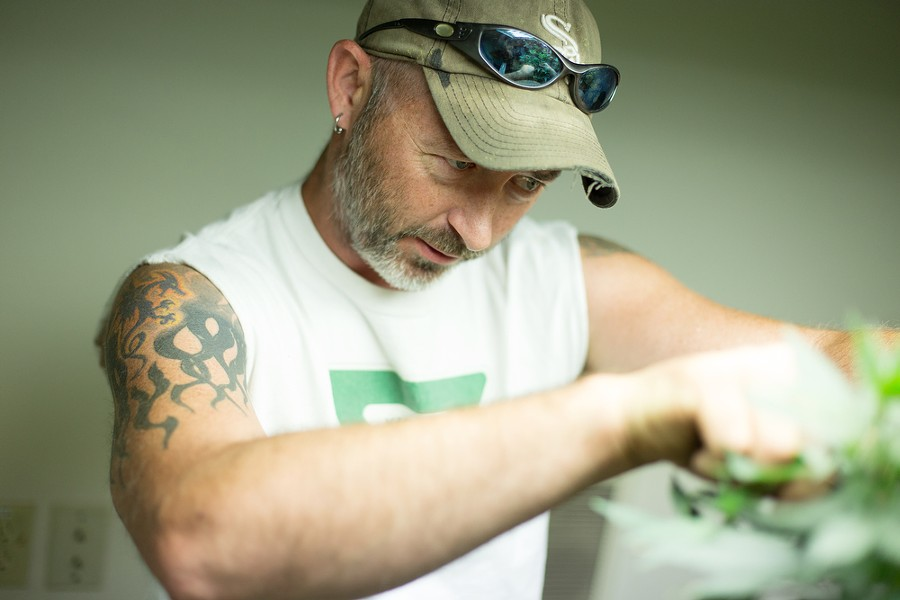 Co-Owner Wesley Tuttle trims a Golden Nugget marijuana plant for cloning. - YOUNG KWAK