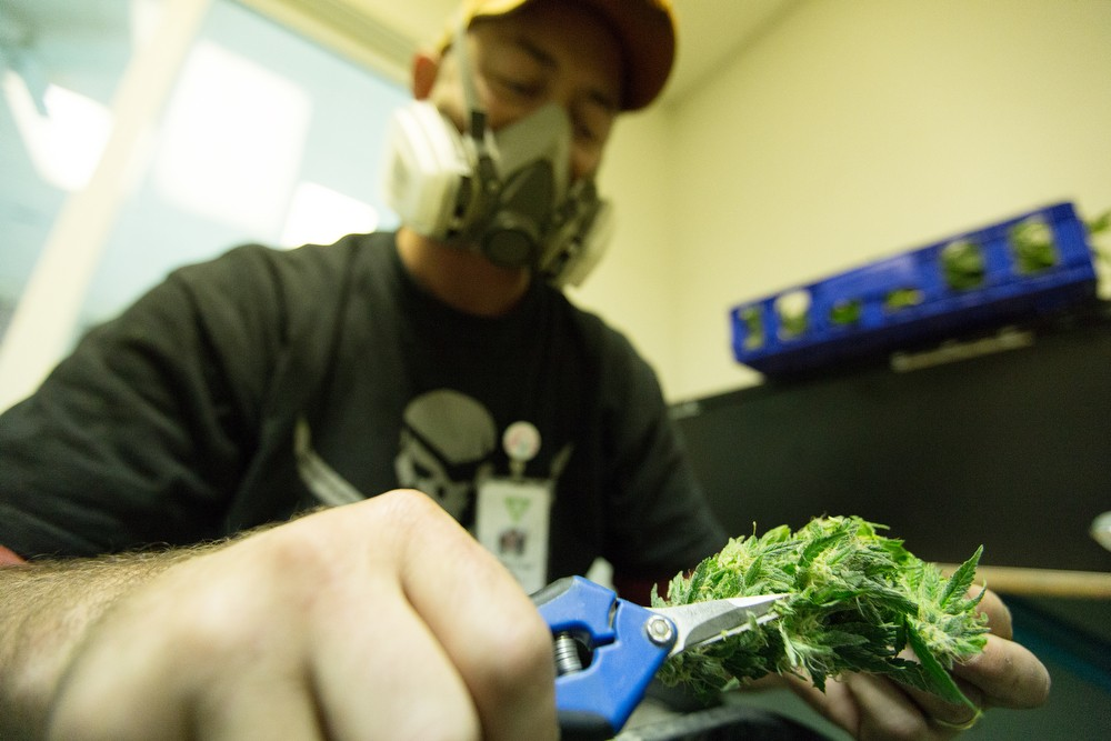 Co-Owner Wesley Tuttle trims harvested New York Diesel marijuana. - YOUNG KWAK