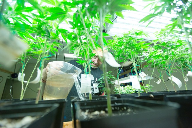 Co-Owner Wesley Tuttle waters a Golden Nugget marijuana plant. - YOUNG KWAK
