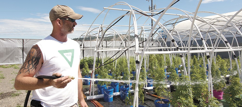 Co-Owner Wesley Tuttle waters his marijuana plants. - YOUNG KWAK