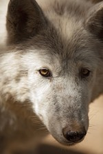 Coco Cabe, a 12-year-old timber wolf, stands in her enclosure.