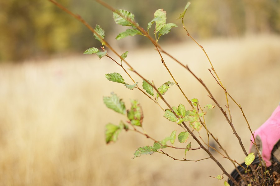 Diane Delaney holds a sitka alder to plant. - YOUNG KWAK