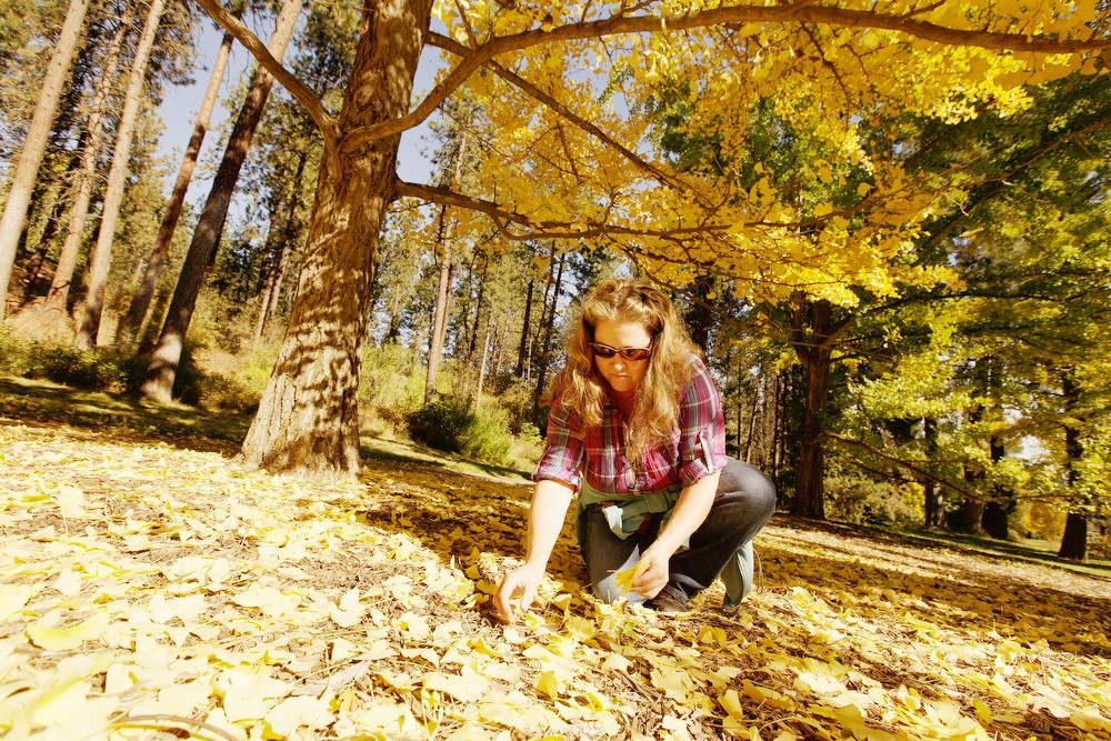 Donna Scheunemann picks up ginkgo leaves to add to a dining table centerpiece at John A. Finch Arboretum. - YOUNG KWAK