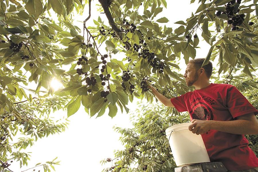 Edible Tree volunteer Aren Murcar at work last week. - YOUNG KWAK