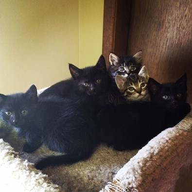 These five foster kittens took over a room at the Forsyths' earlier this spring. - LIBBY FORSYTH