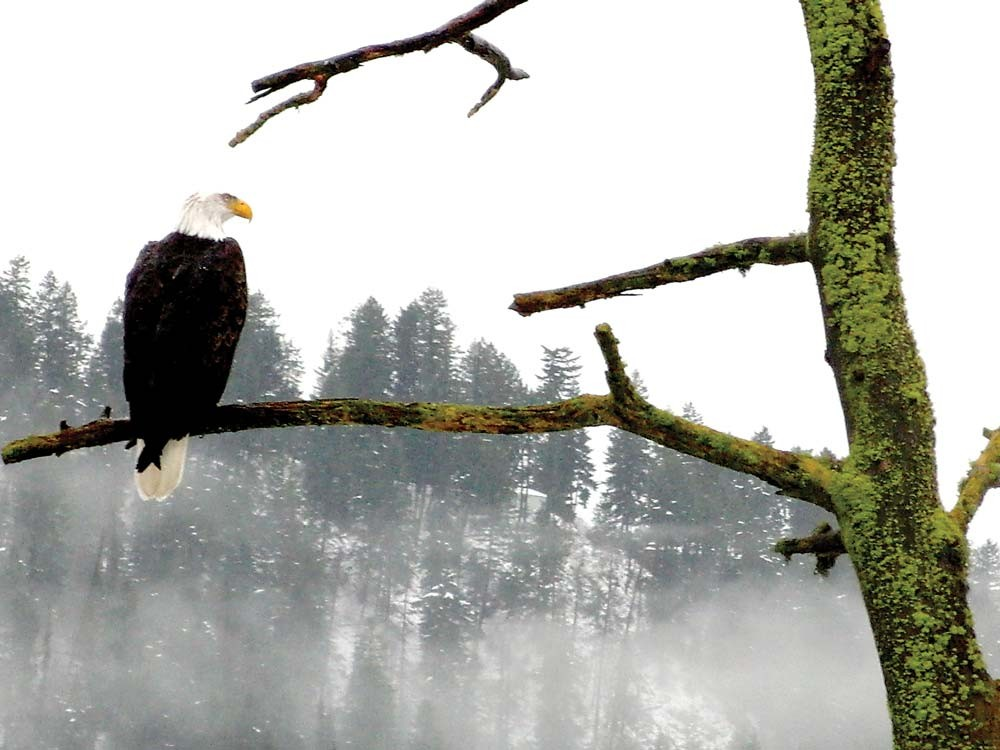 For a month, bald eagles have lured sigh-seers to Lake Coeur d'Alene. - KEVIN TAYLOR
