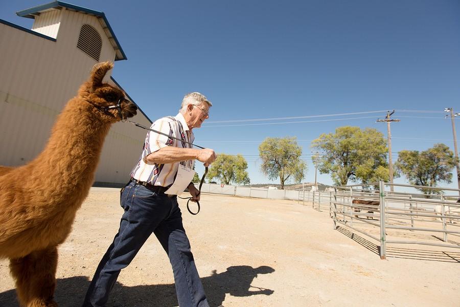 "Gene Moe walks his 1 year old llama ""Simpaticos Queen of Hearts"" to a Llama Halter Class Judging. - YOUNG KWAK"