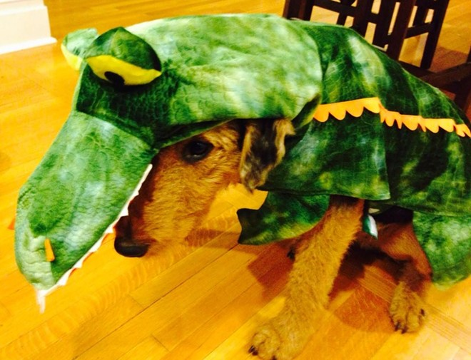 """Angus the """"sad alligator,"""" the adorable Airedale terrier of Inlander Editor, Jacob Fries."""