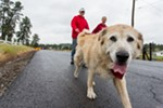 Jenna, an 8-year-old Malamute Golden Retriever mix, walks with owner Sadie.