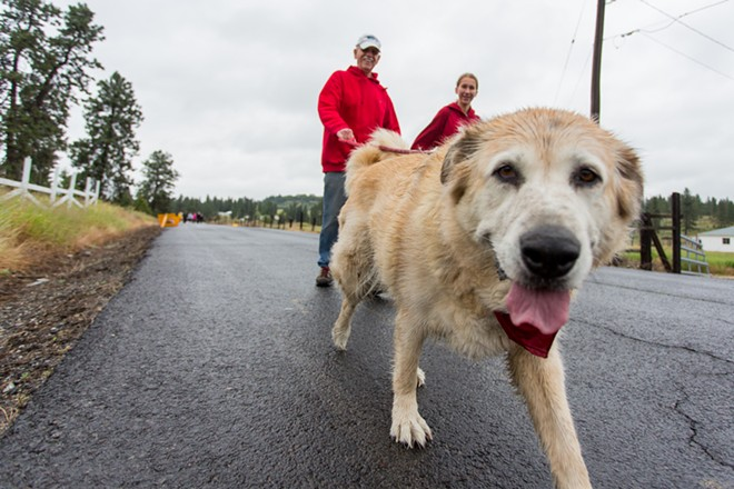 Jenna, an 8-year-old Malamute Golden Retriever mix, walks with owner Sadie. - MATT WEIGAND