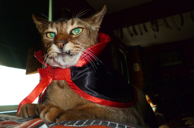 Leaper the vampire kitty, a Siamese and Abyssinian mix from Columbia, Penn., submitted by PJ.