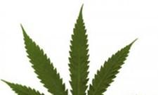 Liquor Control Board revises medical marijuana recommendations