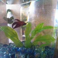 Meet Woodward, The Inlander newsroom fish