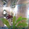 Meet Woodward, The Inlander newsroom fish