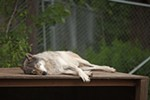 Miwa, a 4-year-old timber wolf, sleeps in the enclosure.