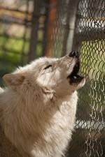 Mohawk howls.