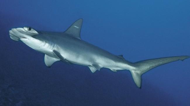 scalloped_hammerhead_shark_120326_02.jpg