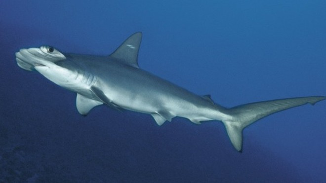 scalloped_hammerhead_shark_120326_02.jpg