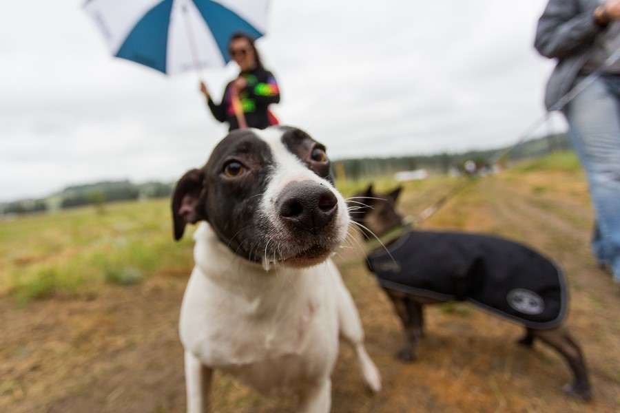 Nellie, a 3-year-old Jack Russell Terrier mix, is not camera shy. Her owner Jade Hardee, holds Nellie back on her leash. - MATT WEIGAND