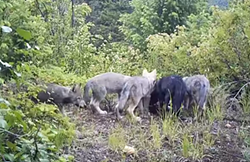 Still from video of Huckleberry wolf pups from 2012. - WDFW