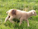 An injured lamb from Dashiell's flock. - SCCA