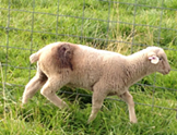 An injured lamb from Dashiell's flock. - SCCA