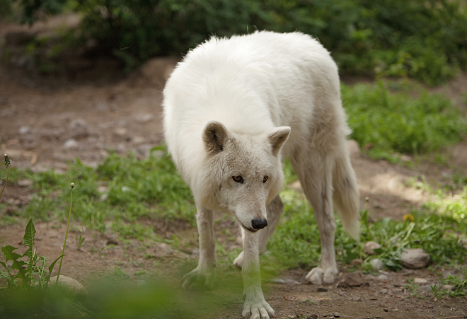 A new study from WSU finds killing wolves tends to result in increased livestock attacks. - YOUNG KWAK