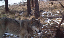 Wash. state wolf numbers, packs increase in new 2013 count