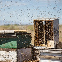Photos: Local beekeepers and their hives Olson's Honey bee hives and frames are photographed during sorting. Young Kwak