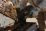 Olson's Honey employee Furmin Lua inspects a bee hive frame.