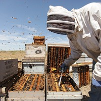 Photos: Local beekeepers and their hives Olson's Honey Field Supervisor Matthew Shakespear prepares to remove a frame from a bee hive. Young Kwak